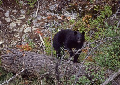 Black-Bear-1024x682